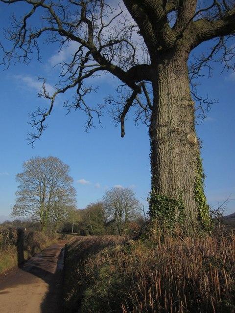 Oak by the lane, Ashill