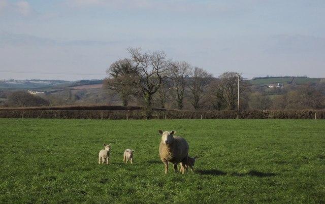 Sheep near Culmstock