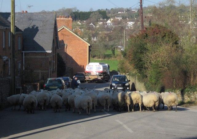 Sheep, Culmstock