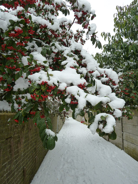 Snowy berries and path