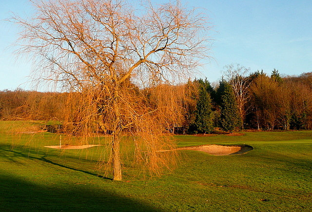 Tree on Harewood Downs golf course
