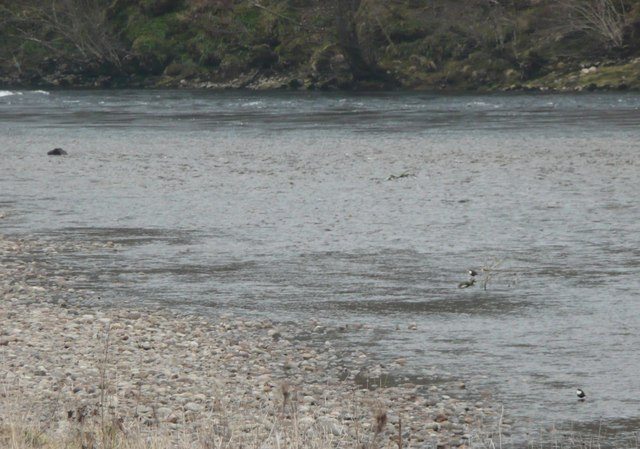 Dippers on shingle beside River Tay