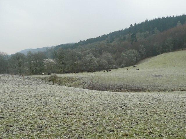 Cattle in a frosty field
