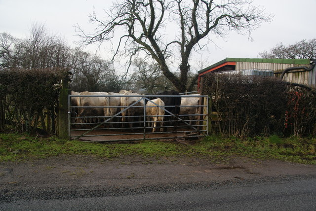 Cows around a feeder at Wilcock Brow
