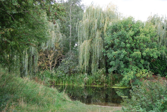 Weeping willow, River Gipping