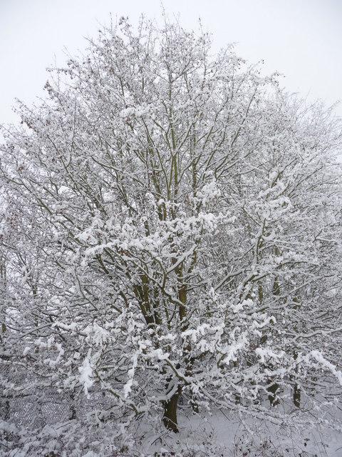 Tree in Trent Park, London N14