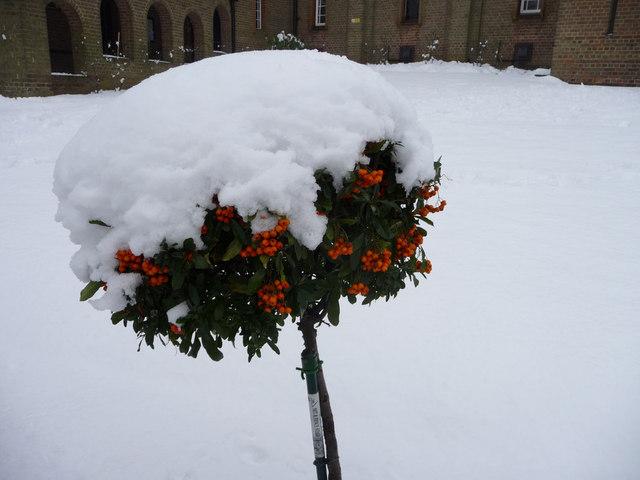 Berry Covered Bush, St Thomas's Church Garden, London N14