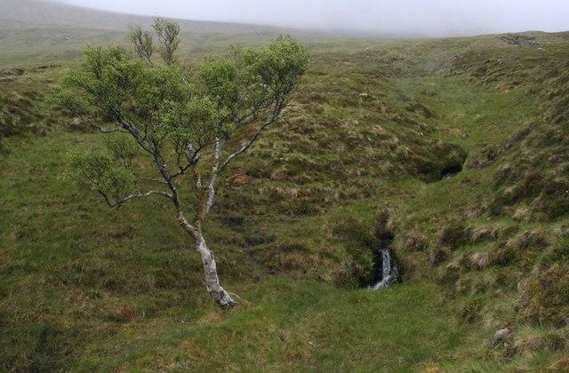 Downy birch by the stream