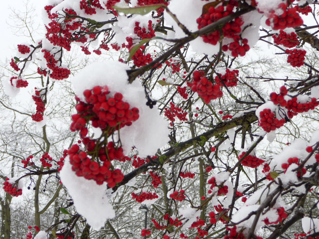 Berries and Snow on Bush on Green, Prince George Avenue, London N14