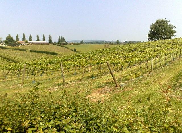 A Gloucestershire Vineyard