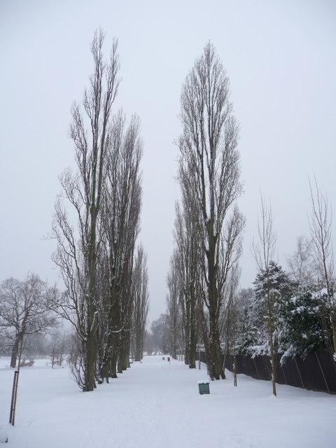 Avenue of Poplar Trees, Oakwood Park, London  N14