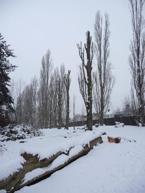 Poplar Trees, Oakwood Park, London N14