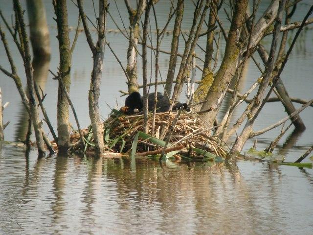 Coot nest by Cottenham Long Drove