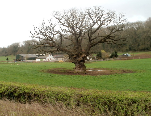 Dominant oak in a field near Westwood Farm west of Caerwent