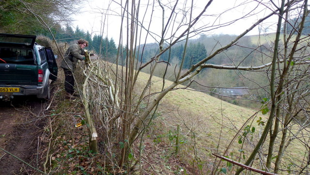 Hedge laying above Rodmore Mill