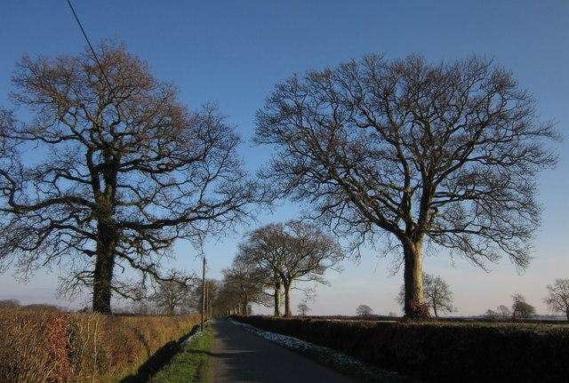 Roadside oaks on Hackpen Hill