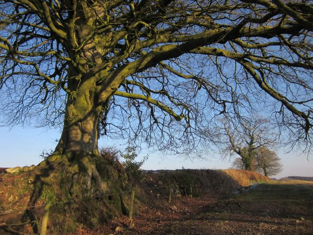 Beech and hedge, Hackpen Hill