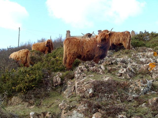 Highland Cattle on Lower Predannack Downs
