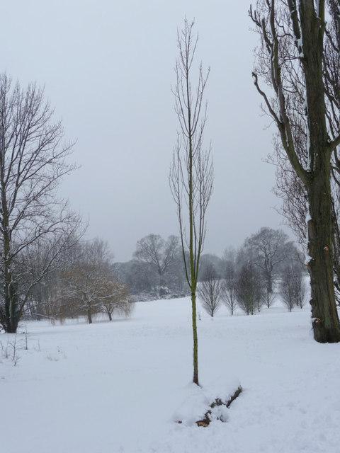Poplar Tree, Oakwood Park, London N14