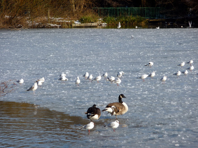 Birds on the Ice, Boxer's Lake, Enfield