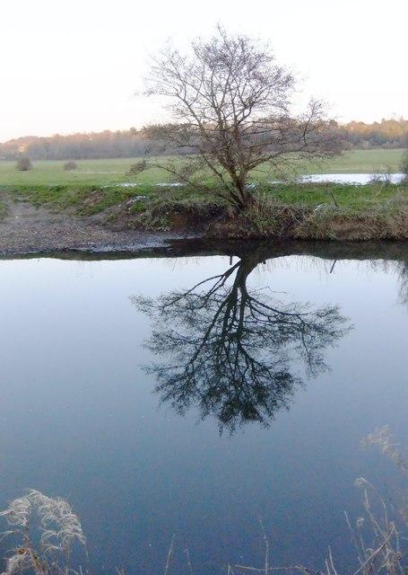 Alder by the River Mole, north of Mickleham