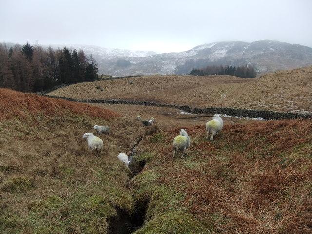Sheep by Bowderdale Gill