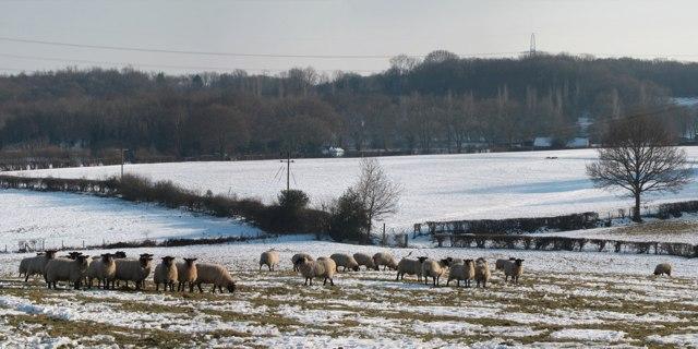 Sheep at Little Harmers Farm