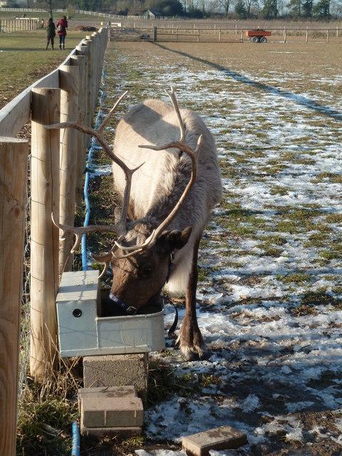 Thirsty reindeer - Cob House Fisheries