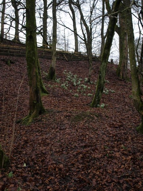 Snowdrops on the bank of the Rotten Calder
