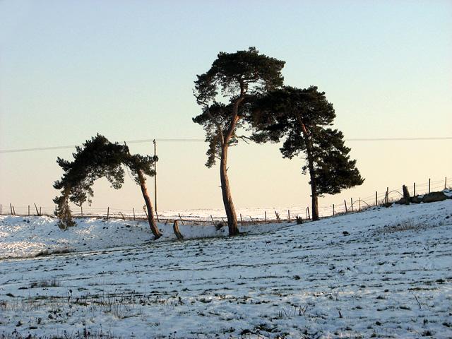 Windswept pine trees growing on field boundary, Washbrook