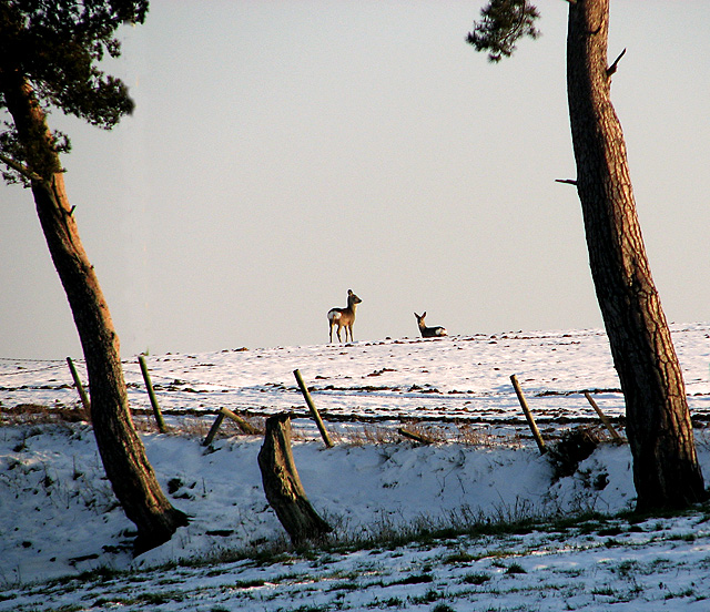 Two roe deer in the snow, Washbrook