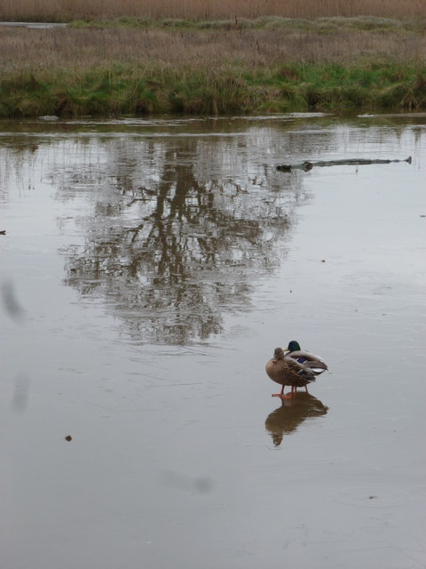 Eling: ducks and tree reflection on frozen water