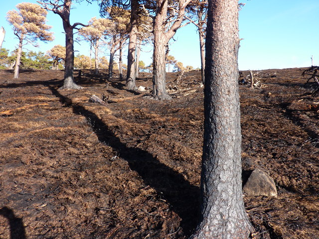 Scorched Scots pine trees above Skellater