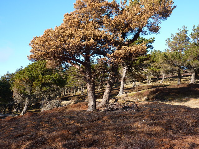 One of the scots pine scorched during heather burning