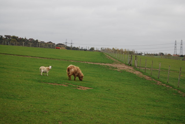 Goats, Buckhole Farm