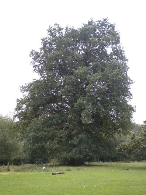 Big oak tree in Hatfield forest