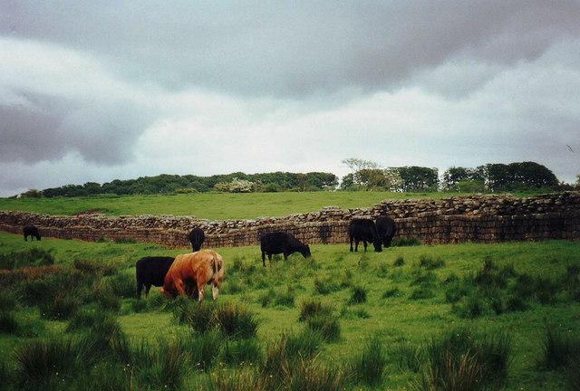 Cattle beside Hadrian's Wall, Birdoswald