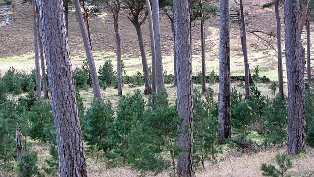 Small pine wood, Hundleshope