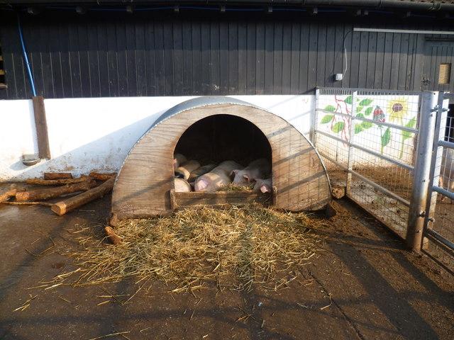 Piglets at Surrey Docks Farm