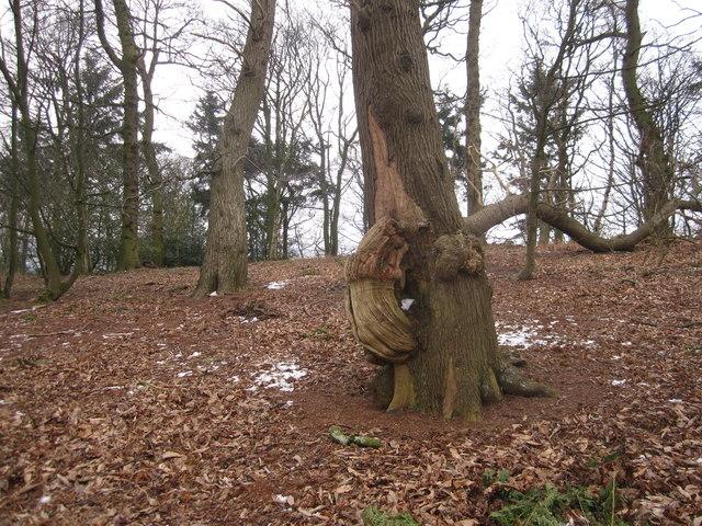 Strange arboreal growth in Danielhill Wood