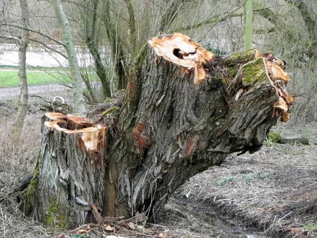 Felled tree, Stratford Tony
