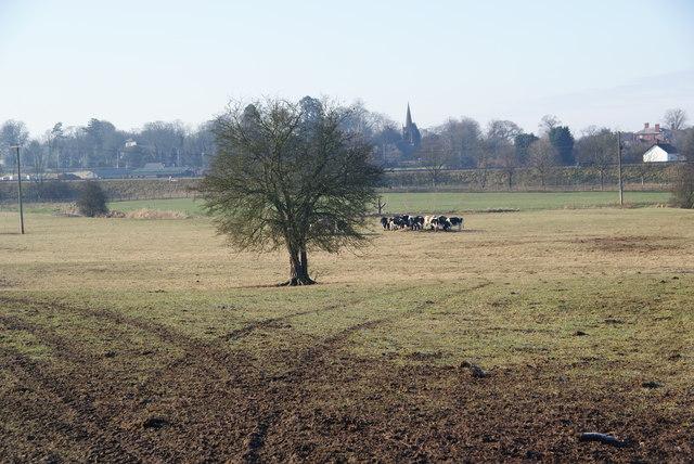 Cows feeding near Acton Trussell