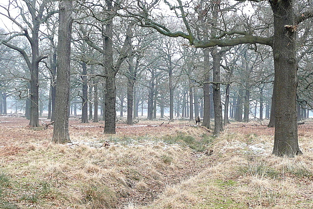 Deer in Hamcross Plantation