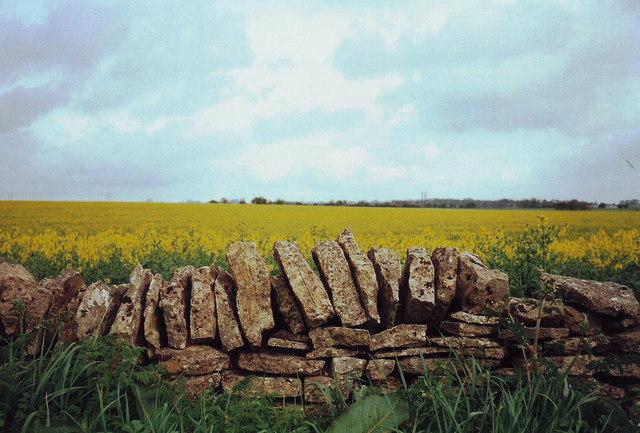 Drystone wall and rape seed near Northleach