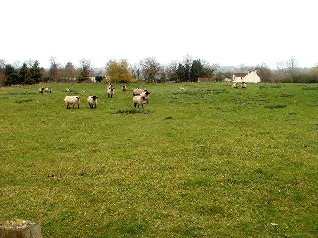 Black-faced sheep, Caerwent