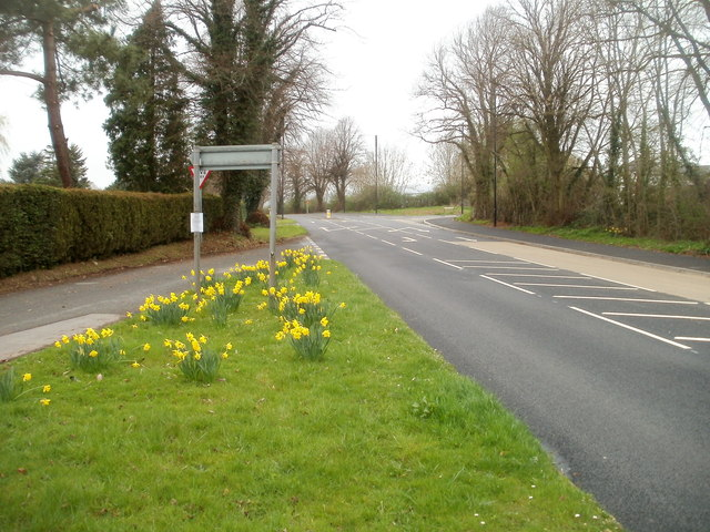 Late March daffodils, Caerwent
