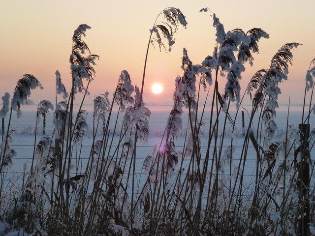 White reeds and golden sun - Silver's Lane, Parson Drove