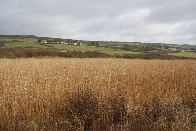 Reed beds, West Bexington Reserve