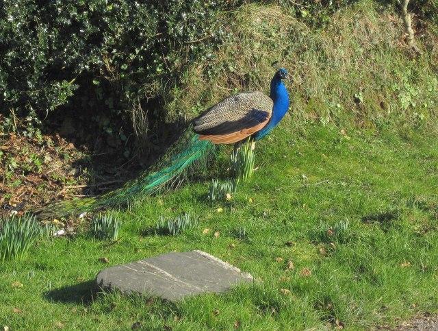 Peacock, Westmanton
