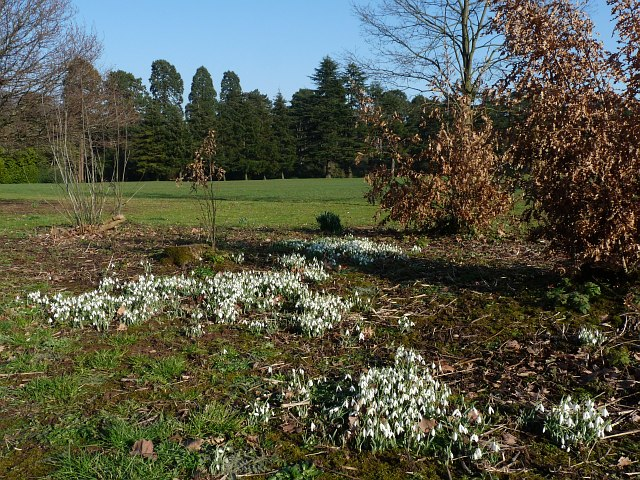 Snowdrops in Tredegar House Country Park